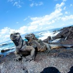 Watch where you step!  The prehistoric-looking marine iguanas may be abundant here, but are only found in the Galapagos. Photo: Justin Bailie