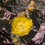 Blooming cactus along the trail.